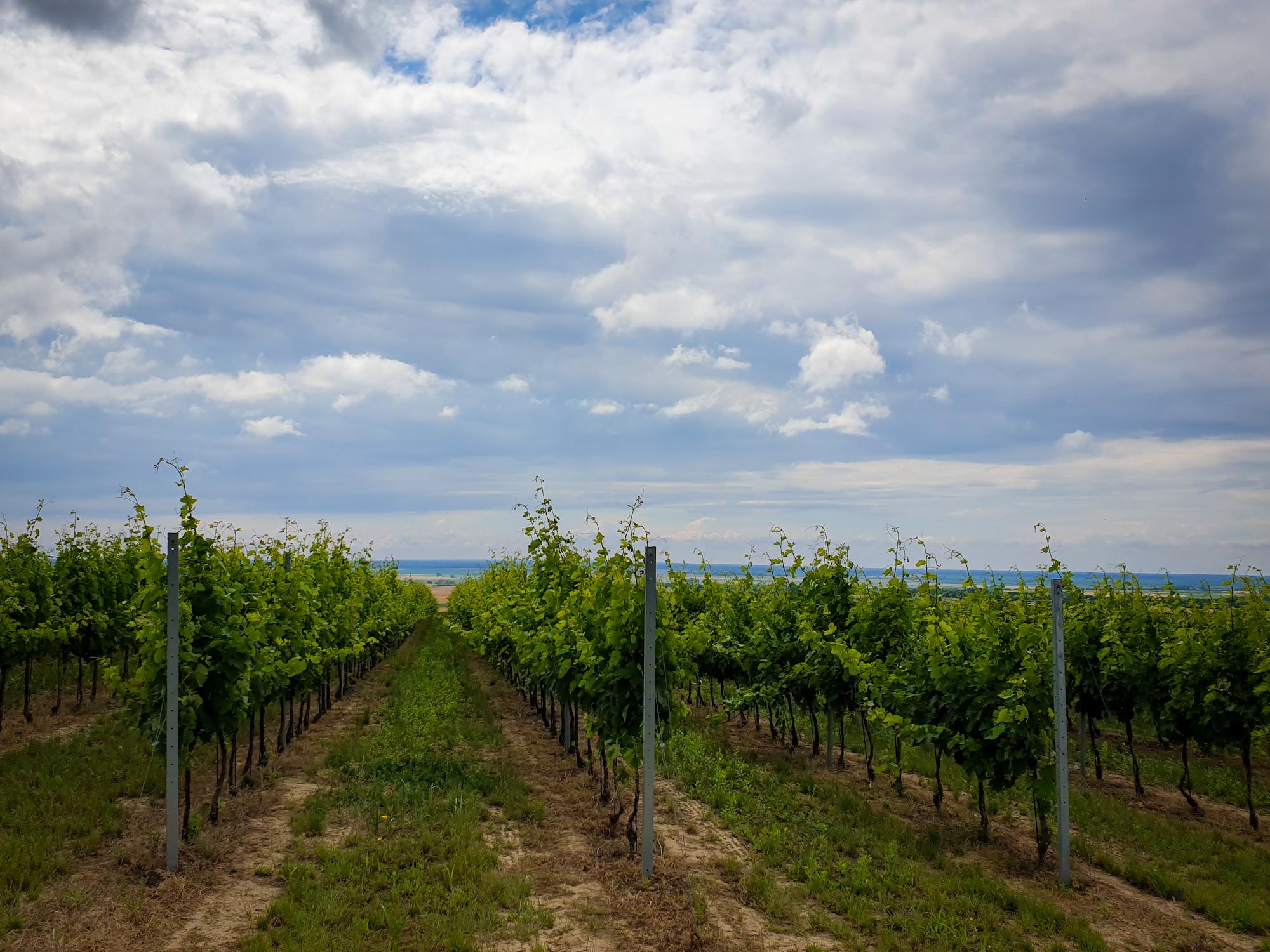 vineyard croatia baranja vinograd
